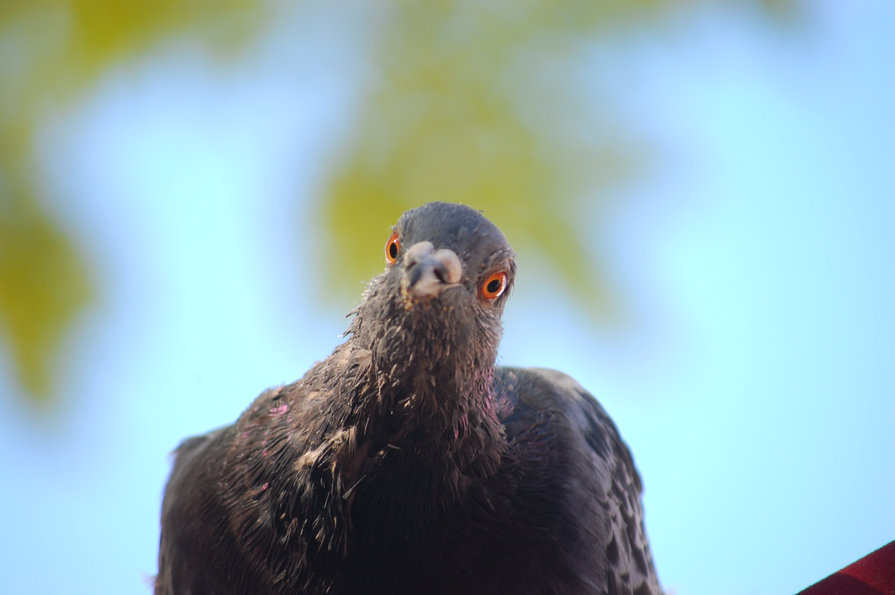Picture of pigeon close up in Europe