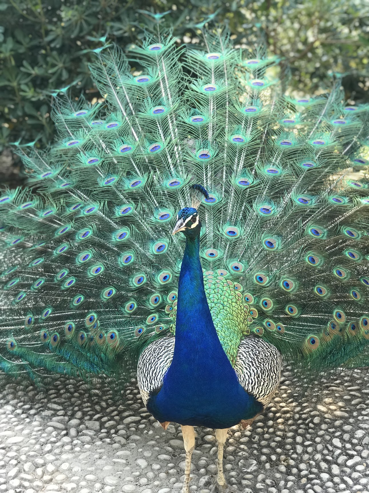 Picture of a Peacock